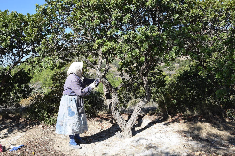 Adopt a Chios Mastiha Tree