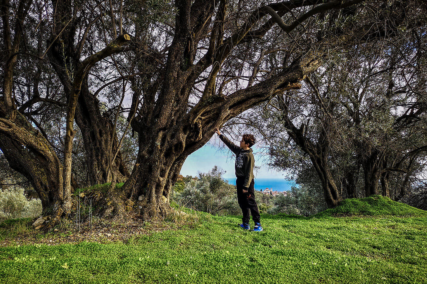 Adopt a Chios Olive Tree